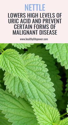 Nettle Lowers High Levels Of Uric Acid And Prevent Certain Forms Of Malignant Disease Herbal Cure, Herbal Remedies, Health Remedies, Natural Remedies For Heartburn, Natural Home Remedies, Health Benefits Of Ginger, Health And Wellness Center, Healthy Eating Guidelines, Health Tips