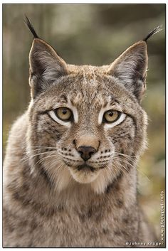 Arbeiten für den Tierkalender 2014 - Works for the animal calendar Copyri. I Love Cats, Big Cats, Cats And Kittens, Beautiful Cats, Animals Beautiful, Iberian Lynx, Animals And Pets, Cute Animals, Serval Cats