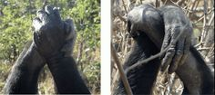 Chimpanzees choose hand clasps by cultural preference