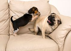 HAHA! ~ Beagle Attacking Pug by dosecreative on Etsy