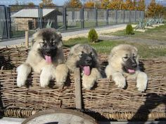 Caucasian shepherd dog names Caucasian Shepherd Dog, Huge Dogs, Types Of Dogs, Mountain Dogs, Dogs And Puppies, Doggies, Dog Names, Mans Best Friend, Dog Lovers