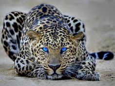 big cats, eye colors, cat eyes, blue, bright eyes