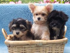 31 Best Maltese Yorkie Puppies Images Cute Puppies Cute Dogs