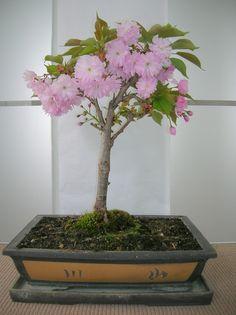 ˚Cherry Tree Bonsai