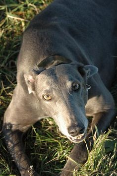 absolutely in love with greyhounds <3