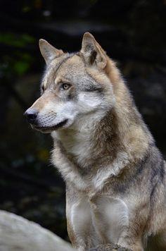 """wolfsheart-blog: """" Beautiful Grey Wolf by Owlstalk """""""