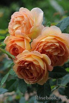 Lady of Shalott roses