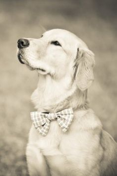 puppy in a bow tie what i think i'm in love