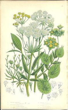 Antique Color Anne Pratt Flower Plant Print Botanical Plate 87 c.1850