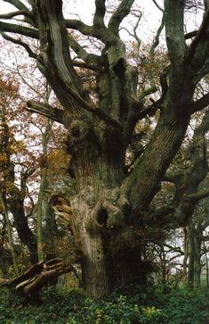 The 'evil' oak outside the abbey