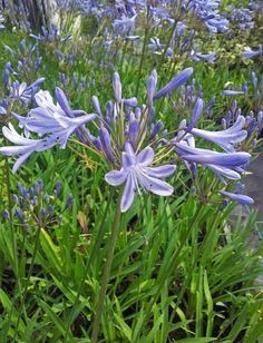Les premières agapanthes démarrent leur floraison actuellement, comme la très belleAgapanthe du Dr Brouwer, ci-dessous, photographiée hier dans les serres.  L\'occasion de refaire un petit tour sur quelques questions...