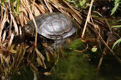 Schmuck-Schildkröte Foto by Darahkiin