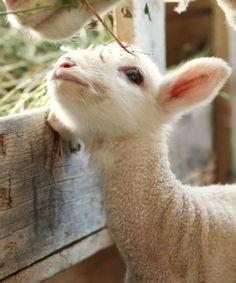 Baby White Lamb