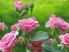 Pink-roses_1600x1200.jpg (1600×1200)