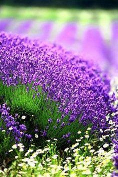 Image about lavender in Colores y Flores by Patricia Uribe Lavender Garden, Lavender Fields, Lavender Flowers, Purple Flowers, Lavander, Growing Lavender, Amazing Gardens, Beautiful Gardens, Beautiful Flowers