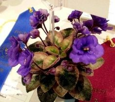 African Violet PLANT Rob's Peedletuck very hard to find!