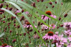 Echinacea + sanguisorba | tradgardsalskare.blogspot.se