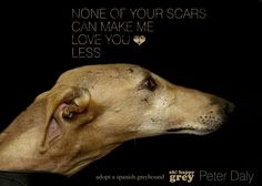 None of your scars can make me love you less | Adopt a Spanish greyhound