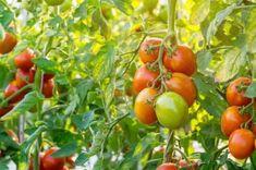Természetes táp, melyet a paradicsomok bő terméssel hálálnak meg! Home And Garden, Red Tomato, Organic Gardening, Plants, Garden, Organic Gardening Pest Control, Tomato Garden, Tomato Seeds, Tomato