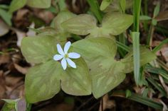 Round-lobed Hepatica (Hepatica americana)