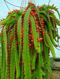 Pfeiffera monacantha is a slow growing and compact epiphytic cactus. The spiny growth is both erect and triangular at first, later flat and pendent...