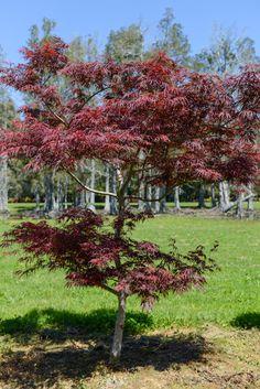 Acer palmatum Lionheart - Red upright dissectum Japanese maple