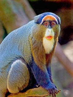 The Golden snub-nosed monkey, is an Old World monkey in the Colobinae subfamily. It is endemic to a small area in temperate, mountainous forests of central and Southwest China.
