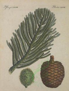 araucaria excelsa - high resolution image from old book. Old Book Pages, Art Clipart, Picture Collection, Topiary, Botany, Wall Collage, Cactus Plants, Clip Art, Trees