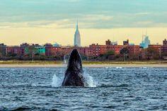 Humpbacks in N.Y.C.