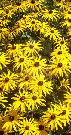 yellow daisies by rangutan Yellow Daisies, Daisy, Plants, Photography, Photograph, Margarita Flower, Photography Business, Flora, Photoshoot