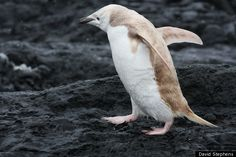 Rare White Penguin Spotted In Antarctica. Photo taken by David Stephens on Lindblad Expeditions' National Geographic Explorer at the Aitcho Islands. Jan. 13, 2012