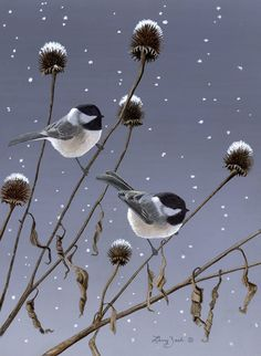 Winter Pair - Black Capped Chickadees...by Larry Zach...The black capped chickadee is a common visitor at bird feeders. They enjoy sunflower seeds and suet. With a little 'training' they can be taught to feed out of a person's hand. Here is a pair resting on purple coneflower seed heads in the winter.