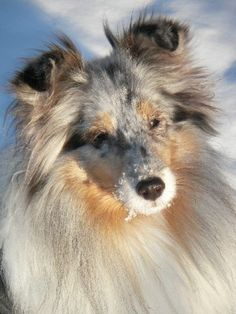 Sheltie Snow Schnozzle!