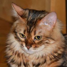 Emma: Shall I ask Dad to clean my nose too?   #adventurecat #allcatphotos300 #catfeaturesdaily #cleanfreak #cleannose #cashmerebengal #cutecatcrew #catexplorer #cutecatskittens #explorercat #greeneyescat #instabengal #ig_bengals #lovemybengal #mybengal #meowed #nc_cuties #petstagrams #trendscat #topmeowdelfeatures #weeklyfluff Adventure Cat, Clean Freak, Bengal, Elsa, Dads, Kitty, Life, Animals, Instagram