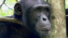 Critically endangered chimpanzees in Ivory Coast craft extra-absorbent drinking sticks, researchers observe.