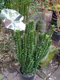 Euonymus japonicus 'Benkomasaki Erecta'  Cette variété de fusain du Japon pousse droite comme un I, avec un port érigé qui frise la perfection. Cet arbuste à feuillage persistant est idéal pour les petits jardins, les cours, les terrasses et les balcons car il n'occupe pas beaucoup de surface au sol.  http://www.pariscotejardin.fr/2013/03/euonymus-japonicus-benkomasaki-erecta/