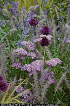"gardeninglovers: "" Achillea, Allium and grasses """