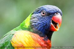 Lorikeet at the Oregon Zoo.  image by Hovering