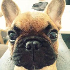 Stare Wars, French Bulldog Puppy.