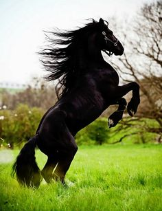 Friesian stallion, Fedor. photo: Carina Maiwald.