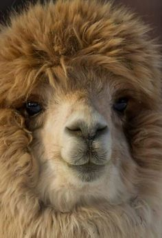 Adorable Alpaca?!