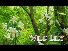 Blooming Wild Lily (Golden‐banded lily, Nikko-day lily) in Tokyo metropolitan area. #やまゆり #ニッコウキスゲ - YouTube Bloom And Wild, Nikko, Day Lilies, Lily, Youtube, Plants, Orchids, Plant, Lilies