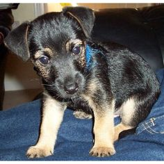 Jack Russell puppy Barni my Jack Russell (black and tan