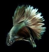 Betta, Siamese Fighting Fish Isolated On White Background Royalty Free Stock Photo, Pictures, Images And Stock Photography. Image 12610380.