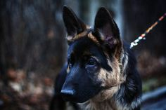 """When I find him, if he be nameless, he will be my """"Elliot"""". (GSD not required; just a RSD required: """"right shepherd dog"""") German Shepherd Husky, German Shepherds, Belgian Dog, Corgi Husky, Kinds Of Dogs, Dogs And Puppies, Doggies, Aggressive Dog, Dogs Of The World"""