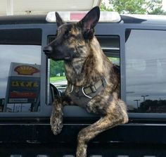 Dutch Shepherd