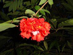 Brownea grandiceps (Rose of Venezuela) | Genus: Brownea Fami… | Flickr - Photo Sharing!