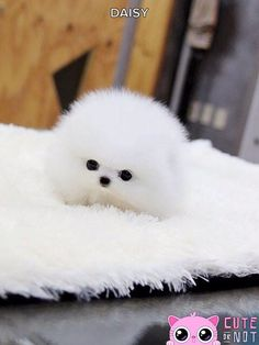 Adorabe Little Teacup Pomeranian Puppy Teddy Bear - 23 Chubby Puppies Mistaken For Teddy Bears Chubby Puppies, Cute Dogs And Puppies, Bulldog Puppies, Dalmatian Puppies, Shitzu Puppies, Samoyed Dogs, Tiny Puppies, Yorkie Dogs, Adorable Puppies