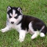 Miniature Siberian huskies are in demand among dog lovers
