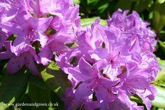 Rhododendron http://www.gardenandgreen.co.uk